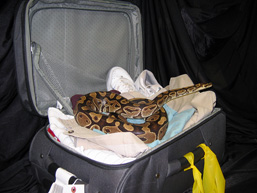 An open suitcase contains clothes on which lies a Ball Python.