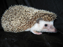 A side view of an African Pygmy Hedgehog with a black backgroung.