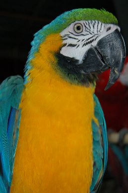 Close-up of the chest and head of a Blue-and-yellow Macaw.