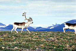 A panoramic view of two Peary Caribous moving forward one behind another in a mountainous landscape.