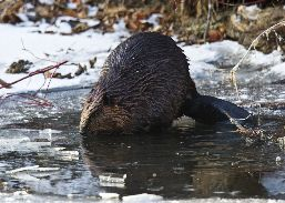 Side view of a beaver out of the water, on the shore of an icy cover.