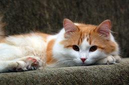 A Domestic Cat laying on a sofa stares at the camera.