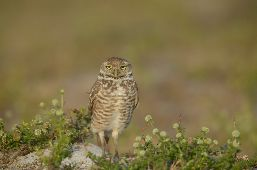 A Burrowing Owl faces the camera.