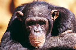 Close-up of the head of a Chimpanzee with its arms crossed, facing the camera.