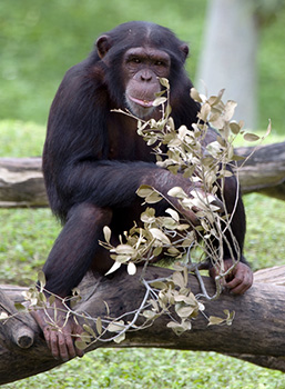 A full body view of a Chimpanzee sitting on a tree stump and staring at the camera.