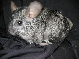 A Chinchilla on a black fabric, seen from a side view.