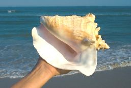A Queen Conch is held at arm's length on the sea shore.