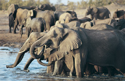 Elephant herd drinking at a waterhole.