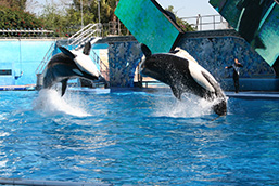 Two Killer Whales perform a reverse jump in a pool under the supervision of their trainer.