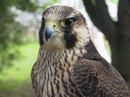 Chest and head side view of a juvenile Peregrine Falcon.