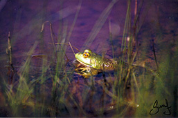 Side view of a Bullfrog through tall grass, half immersed in water.