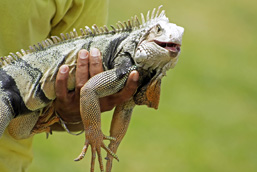 A side view of a Green Iguana held in one hand.