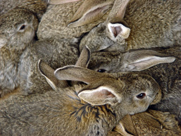 Rabbits squeezed on one another.