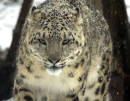 A face view of a Snow Leopard.