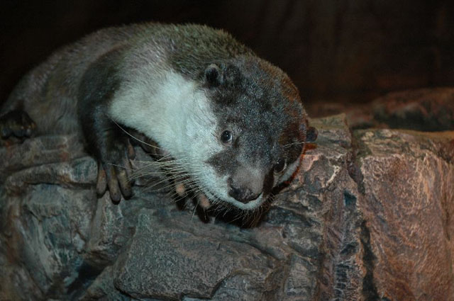 African Clawless Otter