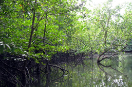 Above water, panoramic view of a Mangrove forest.