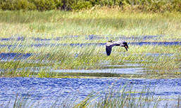 A panoramic view of a heron flying over a marsh at low altitude.