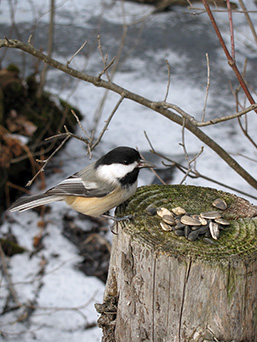 A Black-capped Chickadee on a fence post holds a sunflower seed it just picked-up.