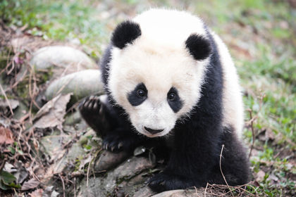 Giant Panda Is No Longer Endangered Species