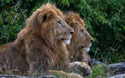 Endangered Species Act protections set for 2 groups of Africa's lions