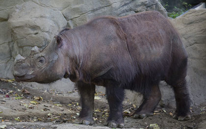 Ohio rhino begins journey to ancestral home for mission to mate, save species