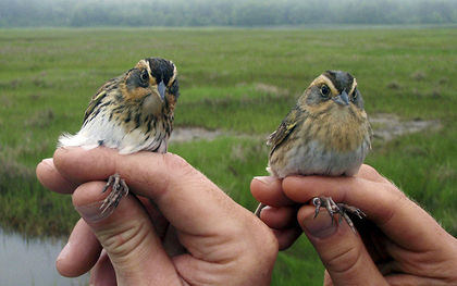 Scientists say East Coast's saltmarsh sparrow disappearing