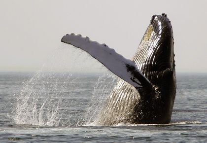 Most humpback whale species removed from endangered list