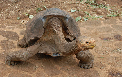 Did 1 Sexually Active Tortoise Really Save His Species?
