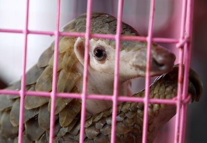 Pangolin 'Medicine' Trade Leading to Rapid Extinction