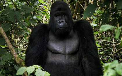 Eastern gorilla on critically endangered list, one step from extinction