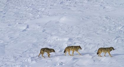 Only 3 Wolves Are Left at Isle Royale National Park