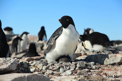 Half of Adélie Penguins Could Be Wiped Out by Global Warming
