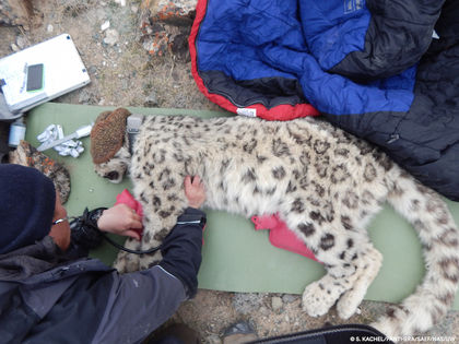Elusive Snow Leopard Collared in Kyrgyzstan