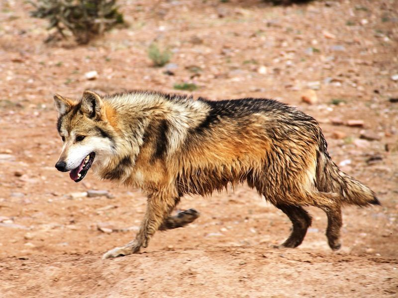 Mexican Wolf Population Now Tops 100 In Us To The Rescue