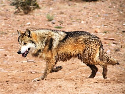 Mexican Wolf Population Grows in Southwestern US