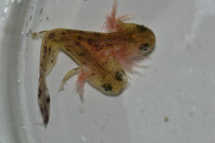 Two-Headed Baby Salamander Isn't Radioactive, But It Is Weird