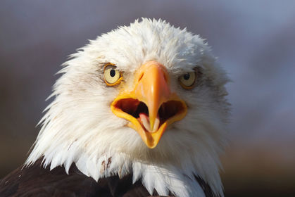 13 Bald Eagles May Have Been Poisoned: Reward Offered