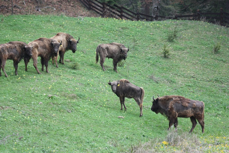 European Bison to Be Released into Wild