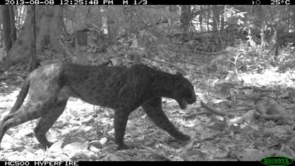 Surprise! Infrared Camera Reveals Black Leopard's Hidden Spots