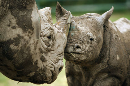 Conservation group aims to reintroduce 'critically endangered' black rhino to Chad