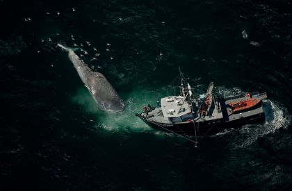 Blue Whales Roam Dangerously Close to Shipping Lanes
