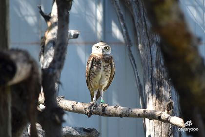 Calgary Zoo launches project to save endangered burrowing owls