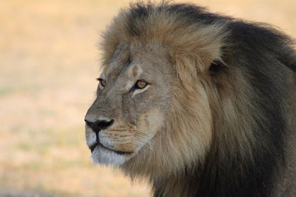 5 Ways Cecil the Lion Helped Scientists Understand Big Cats