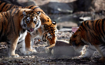 Calgary Zoo set to exchange tigers with New Brunswick's Cherry Brook Zoo