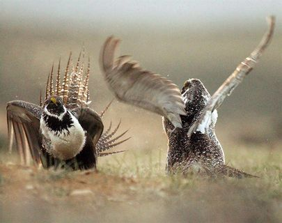 Sage grouse making tiny comeback on prairies