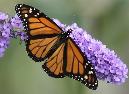 Eastern monarch butterflies could face extinction within 20 years: study