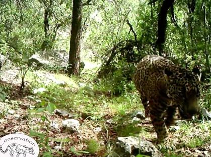 Arizona's Only Jaguar Prowls a Difficult, But Hopeful, Path