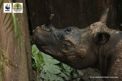 Live Sumatran Rhino Captured in Indonesia