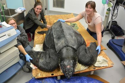 Photos of the Incredible Leatherback Turtle Rescue