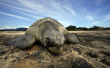 Mexico says it's committed to protecting sea turtles, despite report